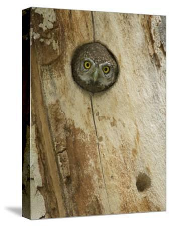 Northern Pygmy Owl, Adult Looking out of Nest Hole in Sycamore Tree, Arizona, USA-Rolf Nussbaumer-Stretched Canvas Print