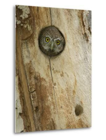 Northern Pygmy Owl, Adult Looking out of Nest Hole in Sycamore Tree, Arizona, USA-Rolf Nussbaumer-Metal Print