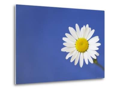 Marguerite / Ox Eye Daisy (Leucanthemum Vulgare) UK-Pete Cairns-Metal Print