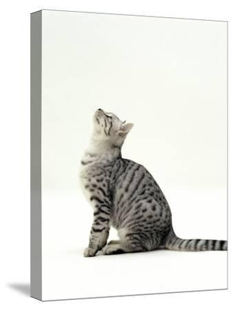 Domestic Cat, 5-Month Silver Spotted Shorthair Male, Sitting Looking Up, Back Hunched-Jane Burton-Stretched Canvas Print