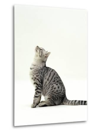 Domestic Cat, 5-Month Silver Spotted Shorthair Male, Sitting Looking Up, Back Hunched-Jane Burton-Metal Print