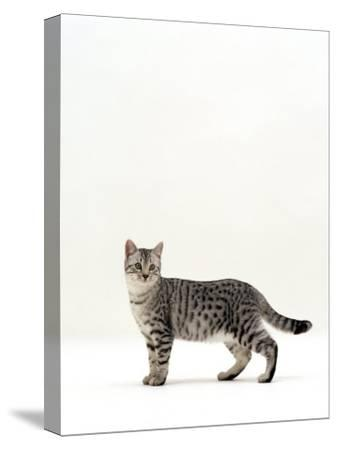 Domestic Cat, 5-Month Silver Spotted Shorthair Male, Standing with Tail Relaxed-Jane Burton-Stretched Canvas Print