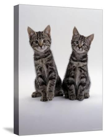 Domestic Cat, Two 8-Week Tabby Kittens, Male and Female-Jane Burton-Stretched Canvas Print