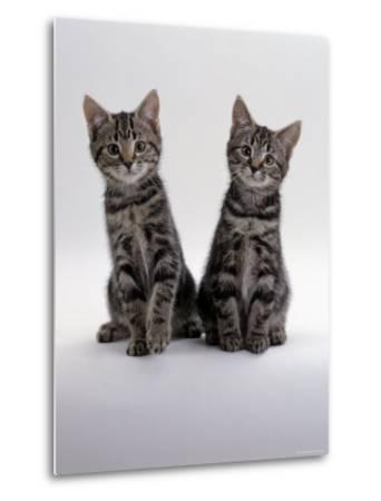 Domestic Cat, Two 8-Week Tabby Kittens, Male and Female-Jane Burton-Metal Print