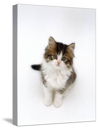 Looking Down on Domestic Cat, 7-Week Tabby and White Persian-Cross Kitten Looking Up-Jane Burton-Stretched Canvas Print