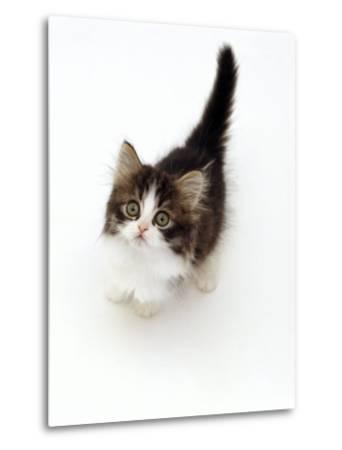 Looking Down on Domestic Cat, 7-Week Tabby and White Persian-Cross Kitten Looking Up-Jane Burton-Metal Print
