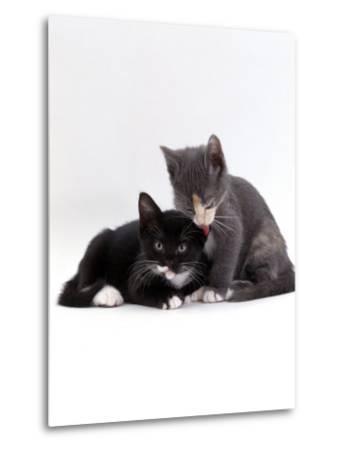 Domestic Cat, Blue Cream Kitten Washing Her Brother's Ear-Jane Burton-Metal Print