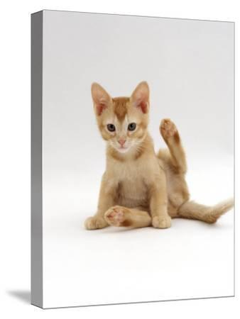 Domestic Cat, 9-Week Kitten Looking up from Grooming-Jane Burton-Stretched Canvas Print