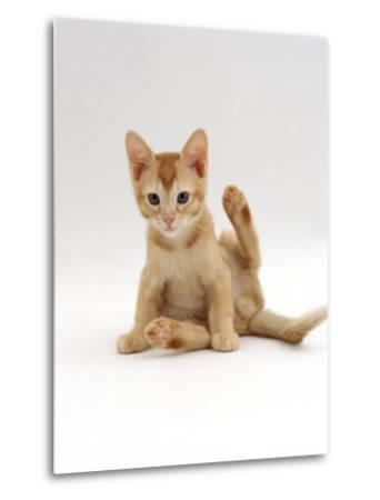 Domestic Cat, 9-Week Kitten Looking up from Grooming-Jane Burton-Metal Print