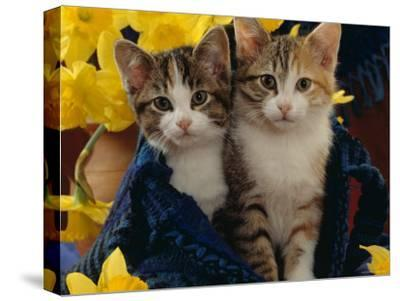 Domestic Cat, Two Tabby-Tortoiseshell-And-White Kittens in Blue Bag with Daffodils-Jane Burton-Stretched Canvas Print