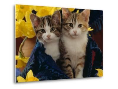 Domestic Cat, Two Tabby-Tortoiseshell-And-White Kittens in Blue Bag with Daffodils-Jane Burton-Metal Print