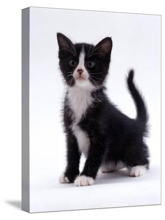 Domestic Cat, 6-Week, Black-And-White Kitten-Jane Burton-Stretched Canvas Print