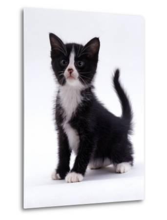 Domestic Cat, 6-Week, Black-And-White Kitten-Jane Burton-Metal Print