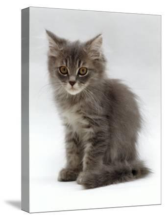 Domestic Cat, 10-Week, Grey Tabby Persian-Cross Kitten-Jane Burton-Stretched Canvas Print