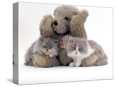 Domestic Cat, Two Blue Persian Kittens with a Brindle Teddy Bear-Jane Burton-Stretched Canvas Print