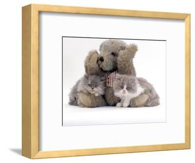 Domestic Cat, Two Blue Persian Kittens with a Brindle Teddy Bear-Jane Burton-Framed Premium Photographic Print