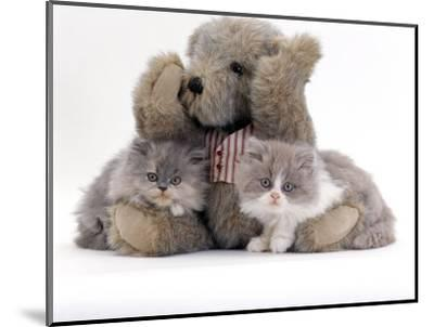 Domestic Cat, Two Blue Persian Kittens with a Brindle Teddy Bear-Jane Burton-Mounted Premium Photographic Print