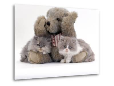 Domestic Cat, Two Blue Persian Kittens with a Brindle Teddy Bear-Jane Burton-Metal Print