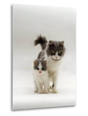 Domestic Cat, Blue Bicolour Persian-Cross Mother with Kitten-Jane Burton-Metal Print