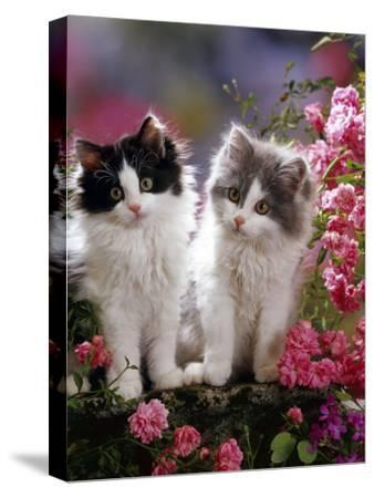 Domestic Cat, Black and Blue Bicolour Persian-Cross Kittens Among Pink Climbing Roses-Jane Burton-Stretched Canvas Print