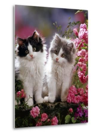 Domestic Cat, Black and Blue Bicolour Persian-Cross Kittens Among Pink Climbing Roses-Jane Burton-Metal Print