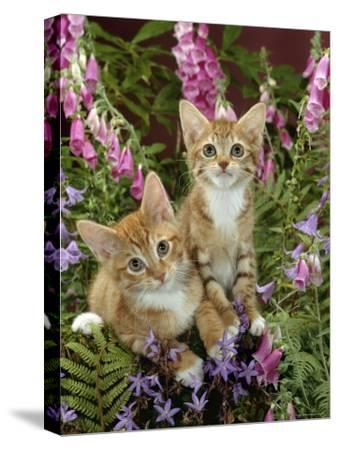 Domestic Cat, 10-Week, Red Male and Ginger Female Spotted Tabbies Among Foxgloves and Bellflowers-Jane Burton-Stretched Canvas Print