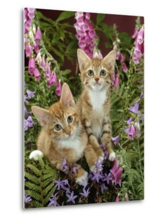 Domestic Cat, 10-Week, Red Male and Ginger Female Spotted Tabbies Among Foxgloves and Bellflowers-Jane Burton-Metal Print