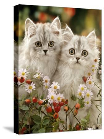 Domestic Cat, Two Silvertabby Persian Kittens Among Michaelmas Dasies and Rose Hip-Jane Burton-Stretched Canvas Print