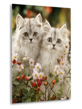 Domestic Cat, Two Silvertabby Persian Kittens Among Michaelmas Dasies and Rose Hip-Jane Burton-Metal Print