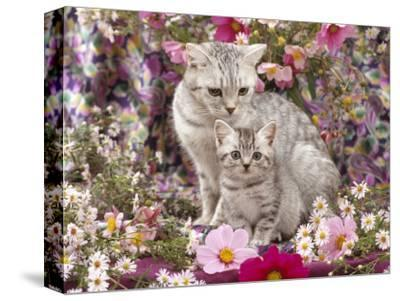 Domestic Cat, British Shorthaired Silver Spotted Tabby with Her 8-Week Kitten Among Flowers-Jane Burton-Stretched Canvas Print