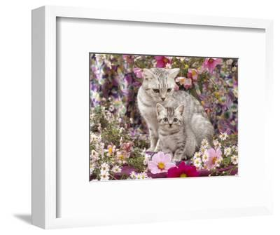 Domestic Cat, British Shorthaired Silver Spotted Tabby with Her 8-Week Kitten Among Flowers-Jane Burton-Framed Premium Photographic Print