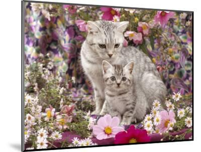 Domestic Cat, British Shorthaired Silver Spotted Tabby with Her 8-Week Kitten Among Flowers-Jane Burton-Mounted Premium Photographic Print