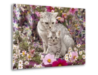 Domestic Cat, British Shorthaired Silver Spotted Tabby with Her 8-Week Kitten Among Flowers-Jane Burton-Metal Print