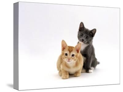Domestic Cat, 9-Week, Red and Blue Kittens-Jane Burton-Stretched Canvas Print
