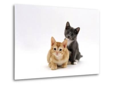 Domestic Cat, 9-Week, Red and Blue Kittens-Jane Burton-Metal Print