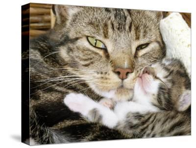 Domestic Cat, Tabby Mother and Her Sleeping 2-Week Kitten-Jane Burton-Stretched Canvas Print