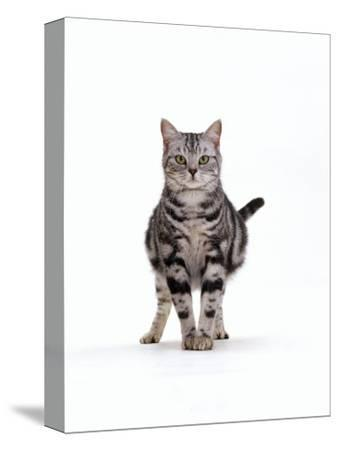 Domestic Cat, Pregnant Silver Tabby British Shorthair Female-Jane Burton-Stretched Canvas Print