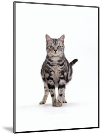 Domestic Cat, Pregnant Silver Tabby British Shorthair Female-Jane Burton-Mounted Premium Photographic Print