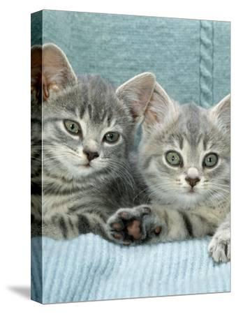 Domestic Cat, Two 8-Week Blue Tabby Kittens-Jane Burton-Stretched Canvas Print