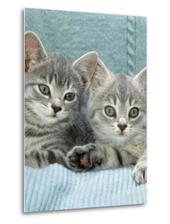 Domestic Cat, Two 8-Week Blue Tabby Kittens-Jane Burton-Metal Print