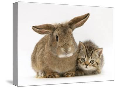 British Shorthair Brown Tabby Female Kitten with Young Agouti Rabbit-Jane Burton-Stretched Canvas Print
