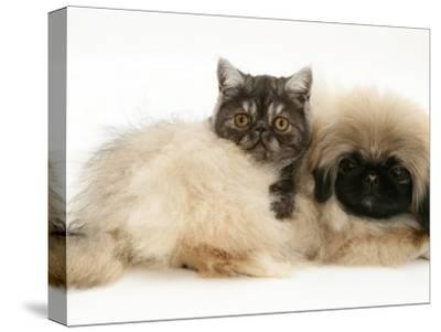 Smoke Exotic Kitten with Pekingese Puppy-Jane Burton-Stretched Canvas Print