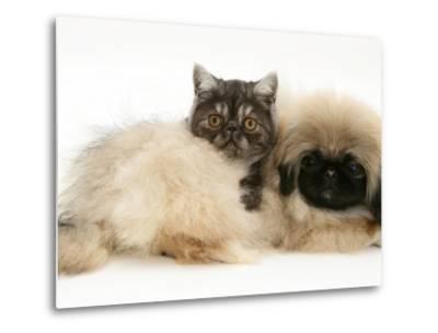 Smoke Exotic Kitten with Pekingese Puppy-Jane Burton-Metal Print