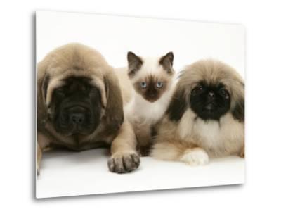 Pekingese and English Mastiff Puppies with Birman-Cross Kitten-Jane Burton-Metal Print
