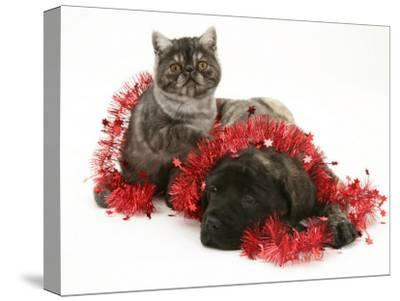 Smoke Exotic Kitten with Brindle English Mastiff Puppy Wrapped with Christmas Tinsel-Jane Burton-Stretched Canvas Print
