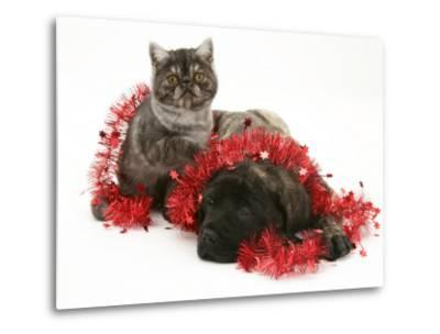 Smoke Exotic Kitten with Brindle English Mastiff Puppy Wrapped with Christmas Tinsel-Jane Burton-Metal Print