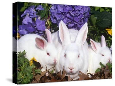 Domestic New Zealand Rabbits, Amongst Hydrangeas, USA-Lynn M^ Stone-Stretched Canvas Print