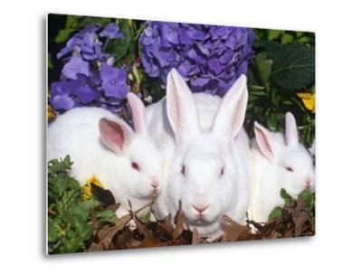 Domestic New Zealand Rabbits, Amongst Hydrangeas, USA-Lynn M^ Stone-Metal Print
