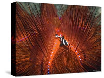Emperor Snapper, Juvenile Sheltering, False Fire Urchin, Lembeh Strait, North Sulawesi, Indonesia-Georgette Douwma-Stretched Canvas Print
