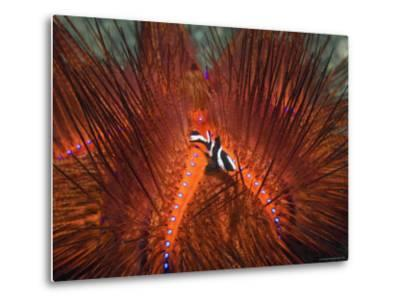 Emperor Snapper, Juvenile Sheltering, False Fire Urchin, Lembeh Strait, North Sulawesi, Indonesia-Georgette Douwma-Metal Print
